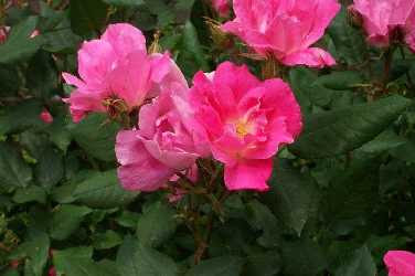 Tootsie Time: Knock out Roses