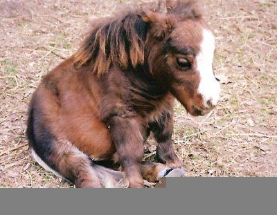kuda terkecil didunia
