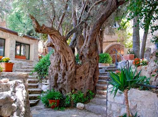 Thousand Year Old Tree Safed Israel