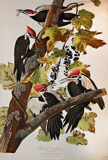 Audubon's image of four pileated woodpeckers on a branch.