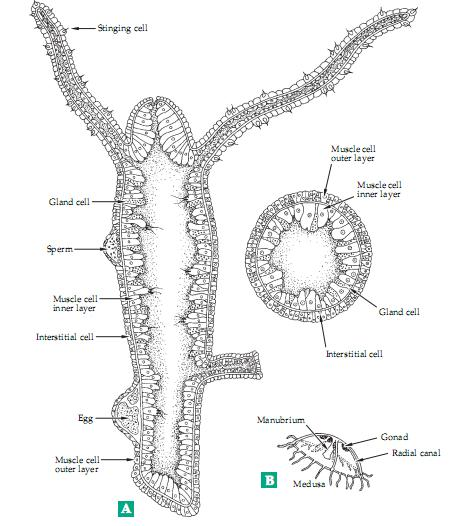 hydra cell diagram biochemistry: major groups of multicellular animals