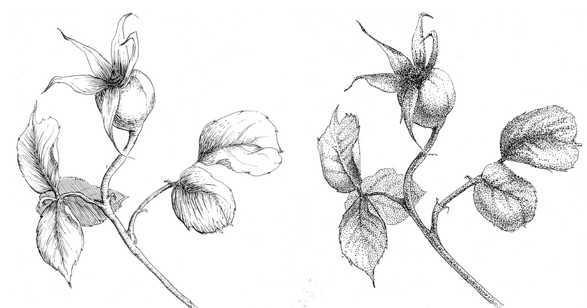 Alexis Demetriades Science Illustration: Rose Hips in Four