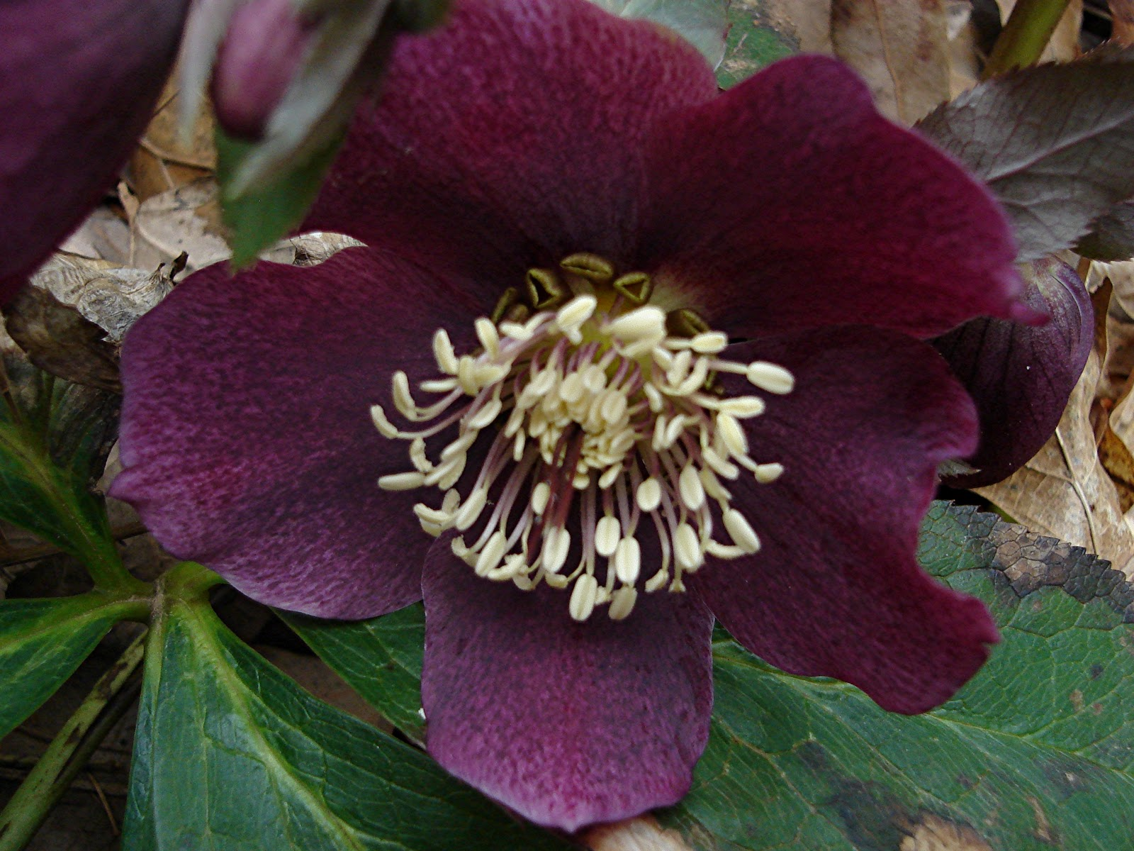 plantpostings  plant of the month  hellebore