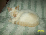 SIAMES RED TABBY POINT JOVEN