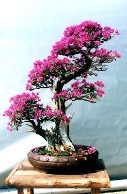 Shah Rule Bunga Kertas