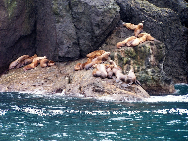 Sea Lions in Resurrection Bay
