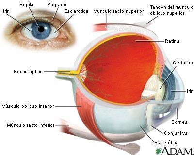 Anatomía para Cosmetología: anatomia del ojo