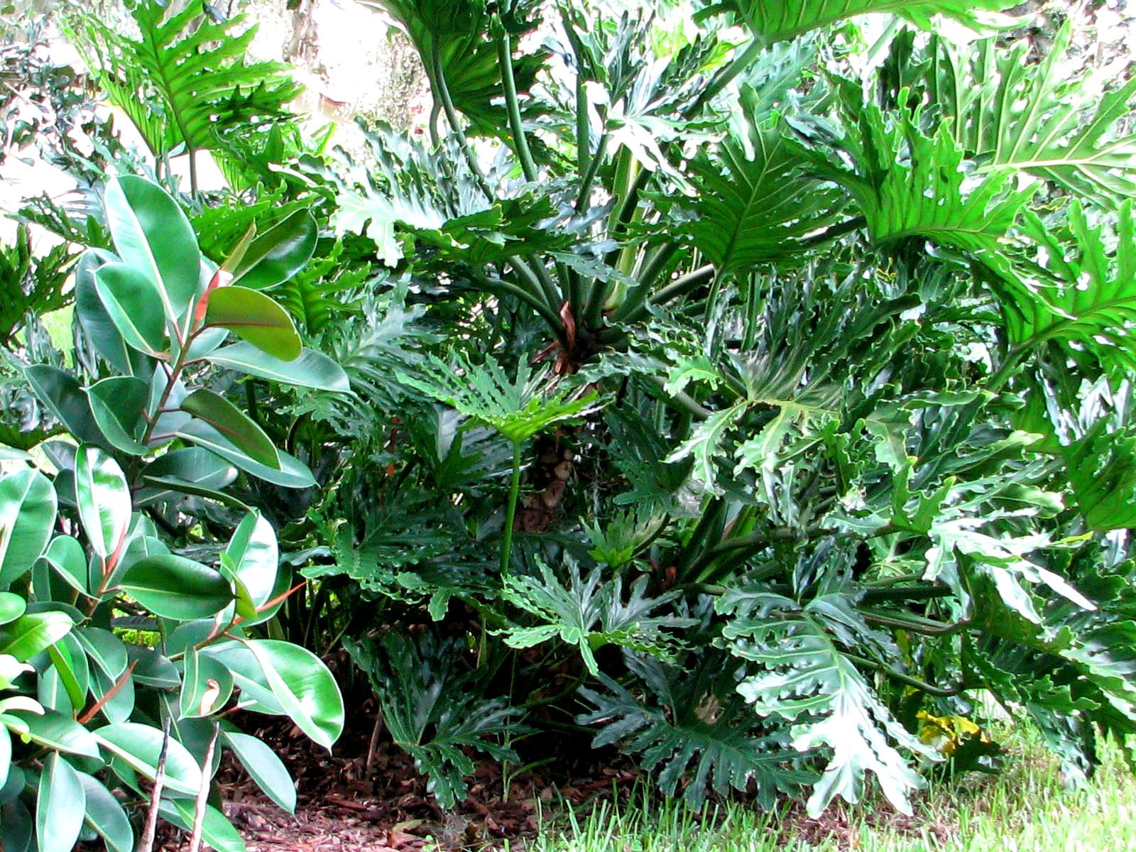 Large Leaf Houseplant Large Leaf Tropical Plants Pictures To Pin On Pinterest