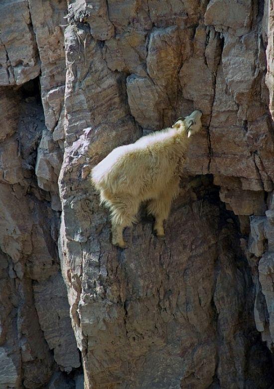 As incríveis cabras alpinistas