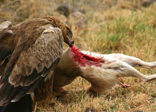 eagle eating the guts out of a rabbit
