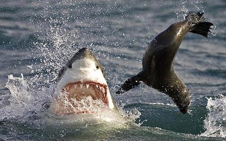great white shark flips a seal into the air