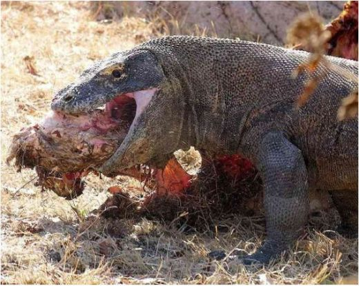 Komodo dragons are amazing eaters