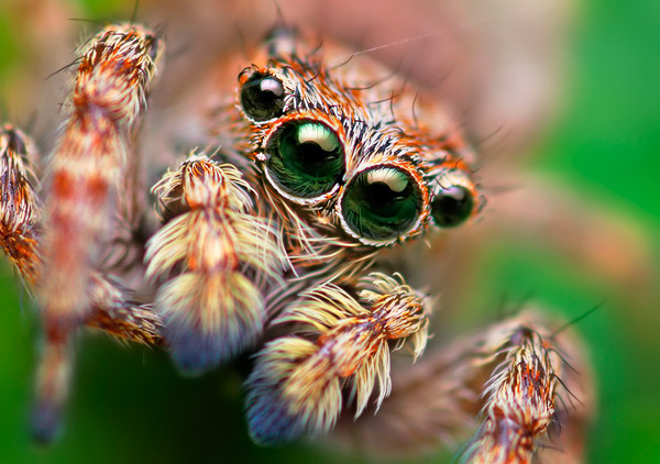 spider eyes magnified