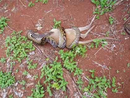 Foto - foto Unik: Foto-foto ular sedang makan