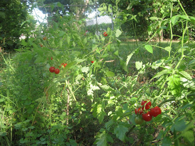 backyard garden, cherry tomato on vine