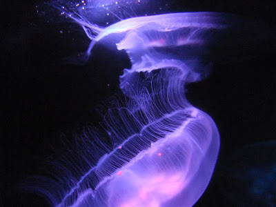 toledo zoo jellyfish, purple