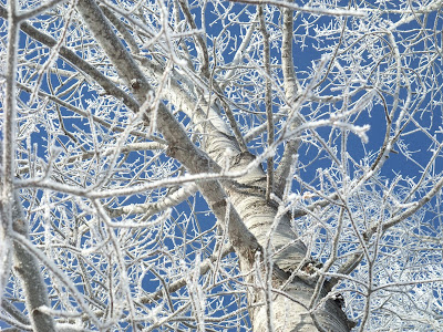 frozen trees, snow icicles, birch, winter, cold