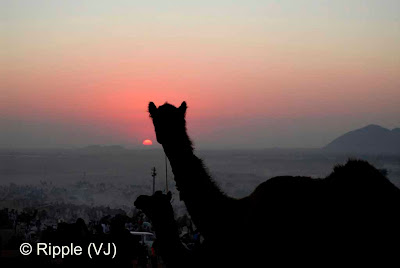 Posted by Ripple (VJ) :  Pushkar Camel Fair 2008 : Camel looking at Sunset @ Pushkar Camel Fair 2008The small and beautiful town of Pushkar is set in a valley just about 14 km off Ajmer in the north Indian state of Rajasthan. Surrounded by hills on three sides and sand dunes on the other, Pushkar forms a fascinating location and a befitting backdrop for the annual religious and cattle fair which is globally famous and attracts thousands of visitors from all parts of the world.