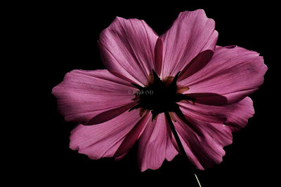 Posted by Ripple (VJ) : Corbett National Park : Pink Flower in Black background...