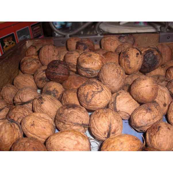 marktplaats walnoten te koop