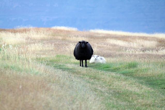 Pecora sull'Isola di Vigur