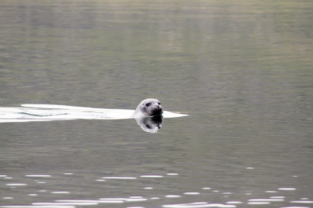 Reykjanes-foca