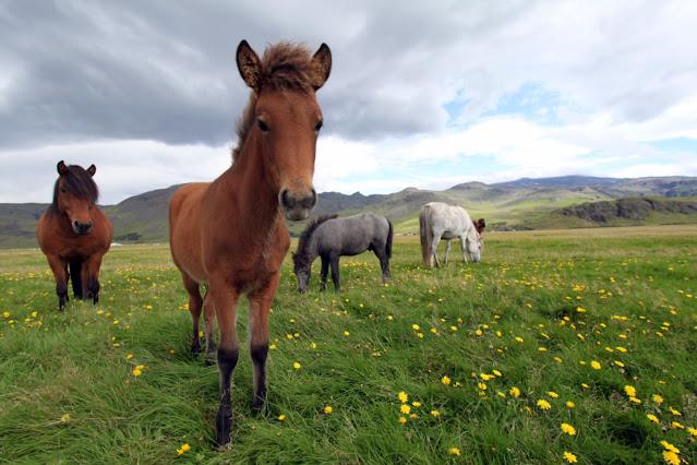 Cavalli islandesi ad Hella