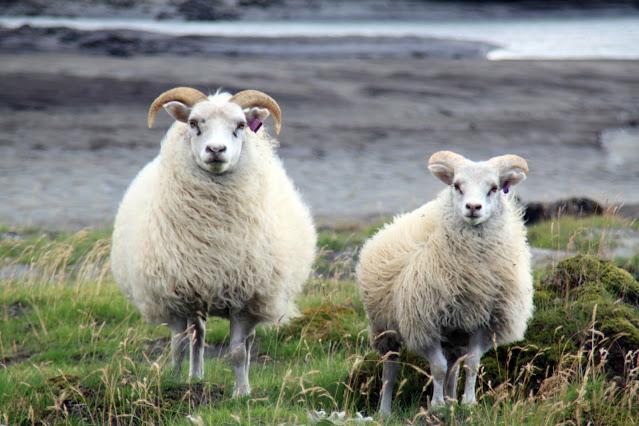 Landmannalaugar-Pecore