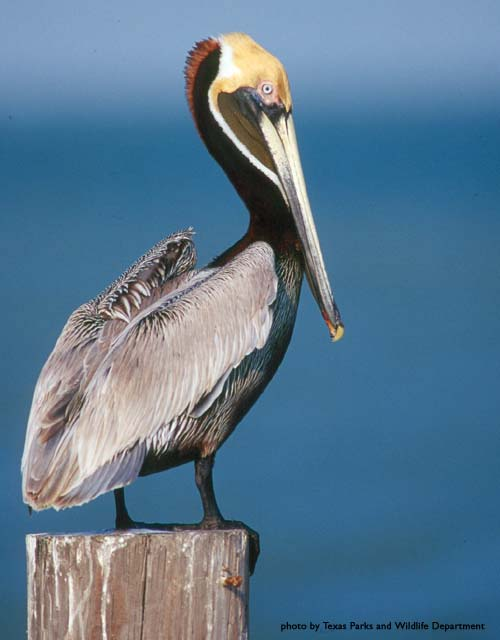 Xavier University Louisiana >> Where in the world is Sidney?: The Noble Pelican