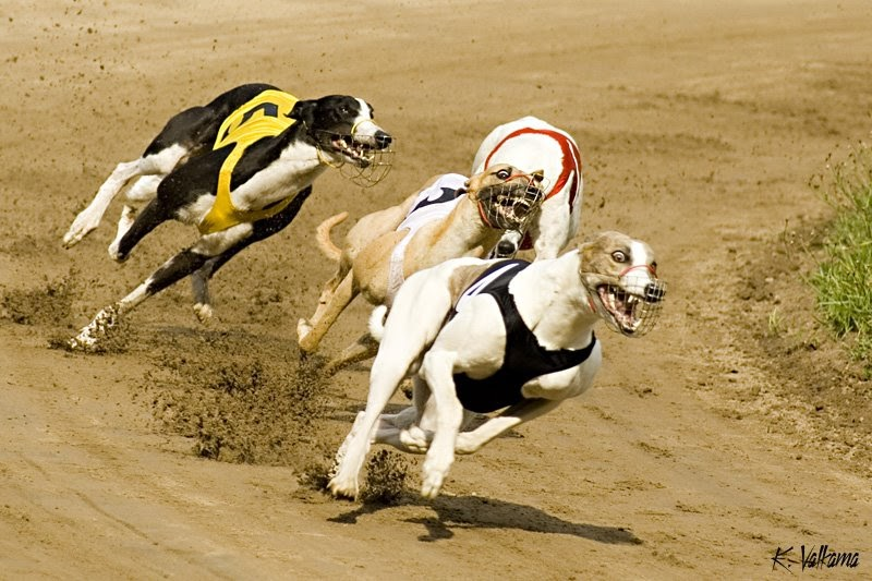 Greyhound Pictures Of Dogs And All About Dog