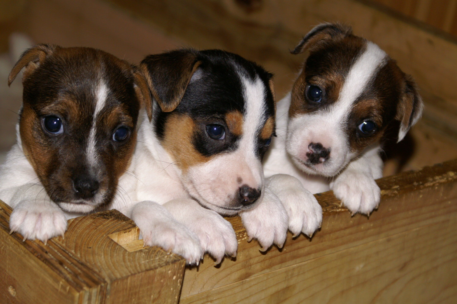 Jack Russell Rescue Dogs