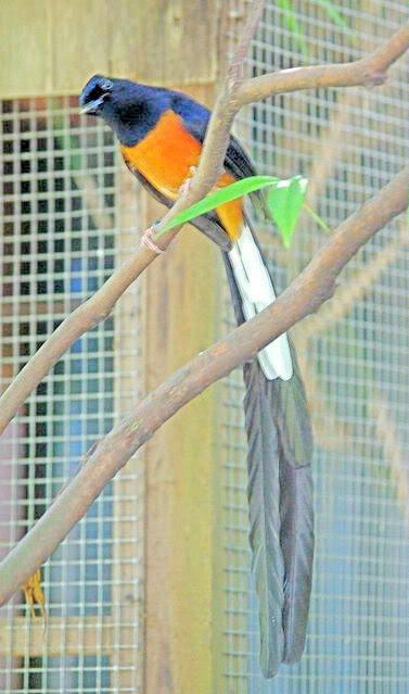 Planet Burung Murai Batu Import
