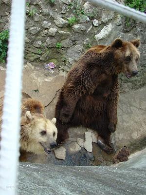 Кафяви мечки във Варна