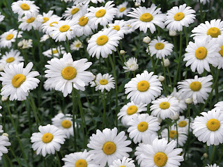 Oxeye Daisies wallpaper