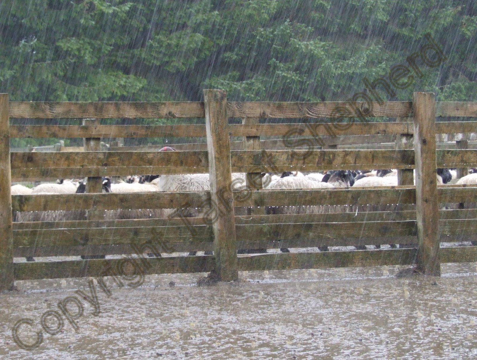 Shepherd's blog: Lambs away