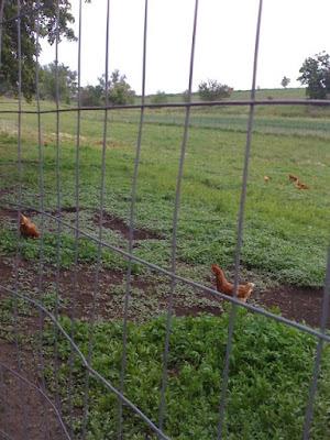Processing Chickens | myhumblekitchen.com