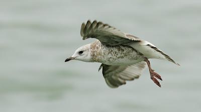 first winter Common Gull in flight