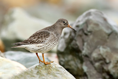 Purple Sandpiper in Newfoundland in winter