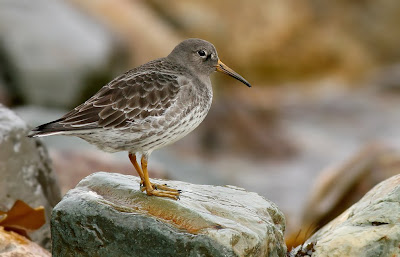 Purple Sandpiper in Newfoundland