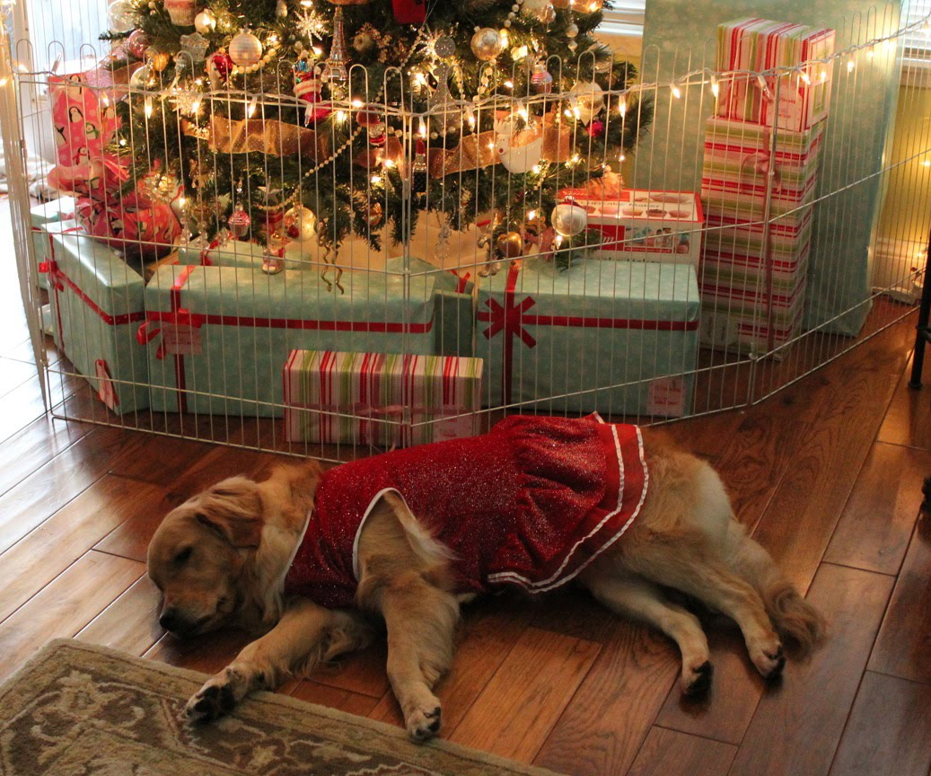 Lexi The Golden Retriever Napping Under The Christmas Tree