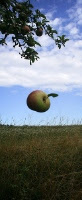 Computer drawing of an apple falling toward the grass from a tree.
