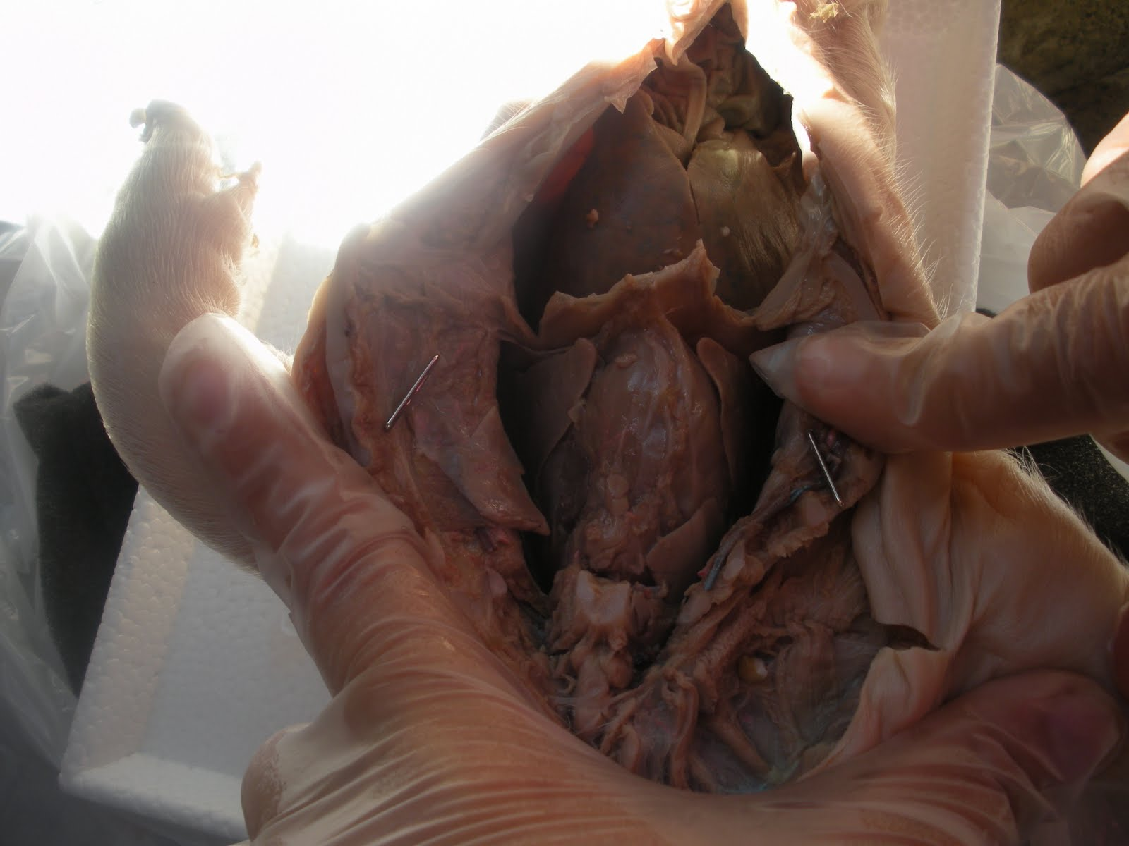 This Is A Photo Of The Dorsal Side Of A Pig S Heart On
