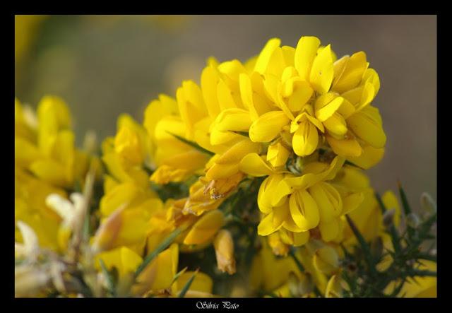 Tojos en flor