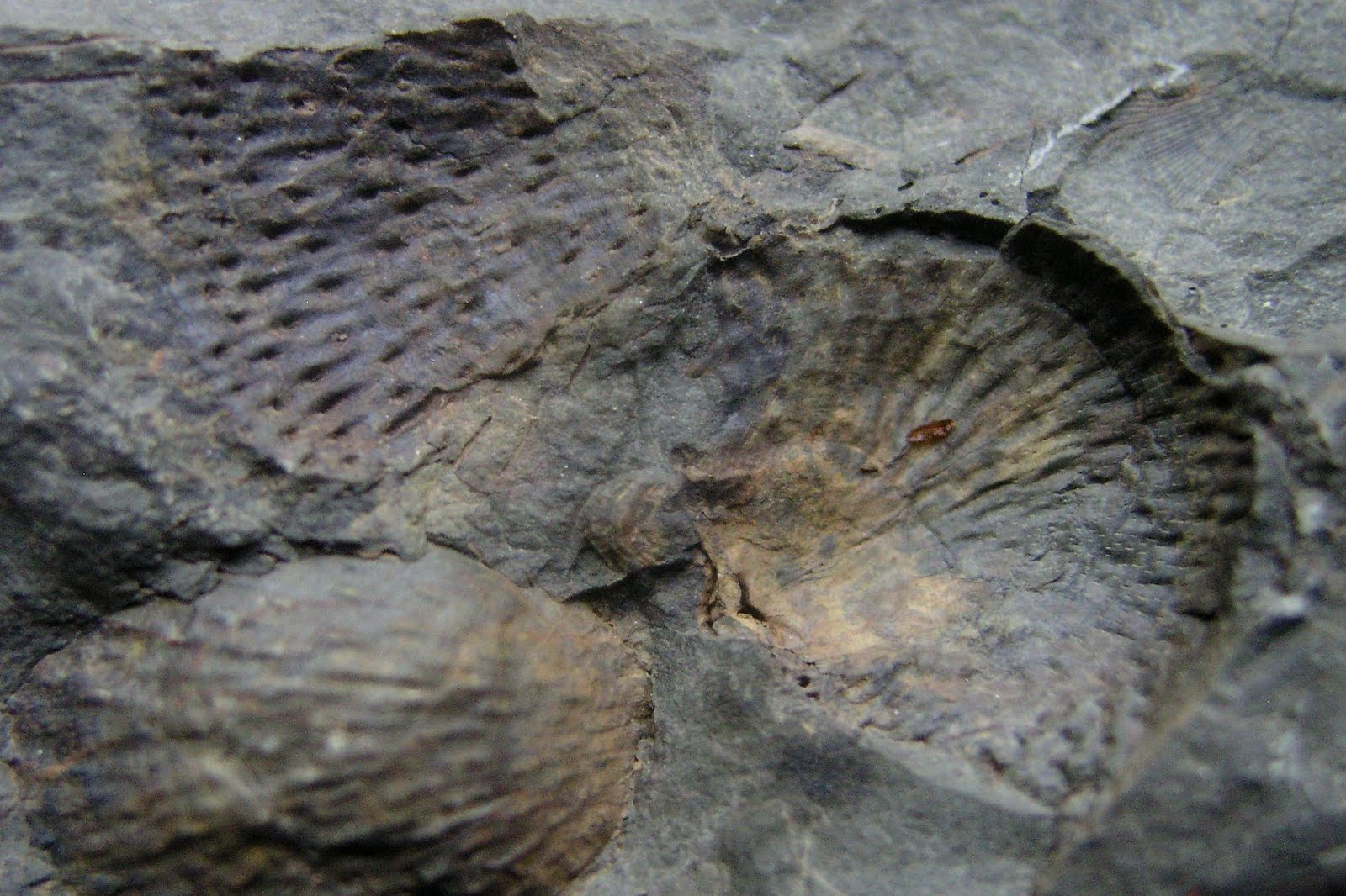 Louisville Fossils And Beyond West Virginia Brachiopods
