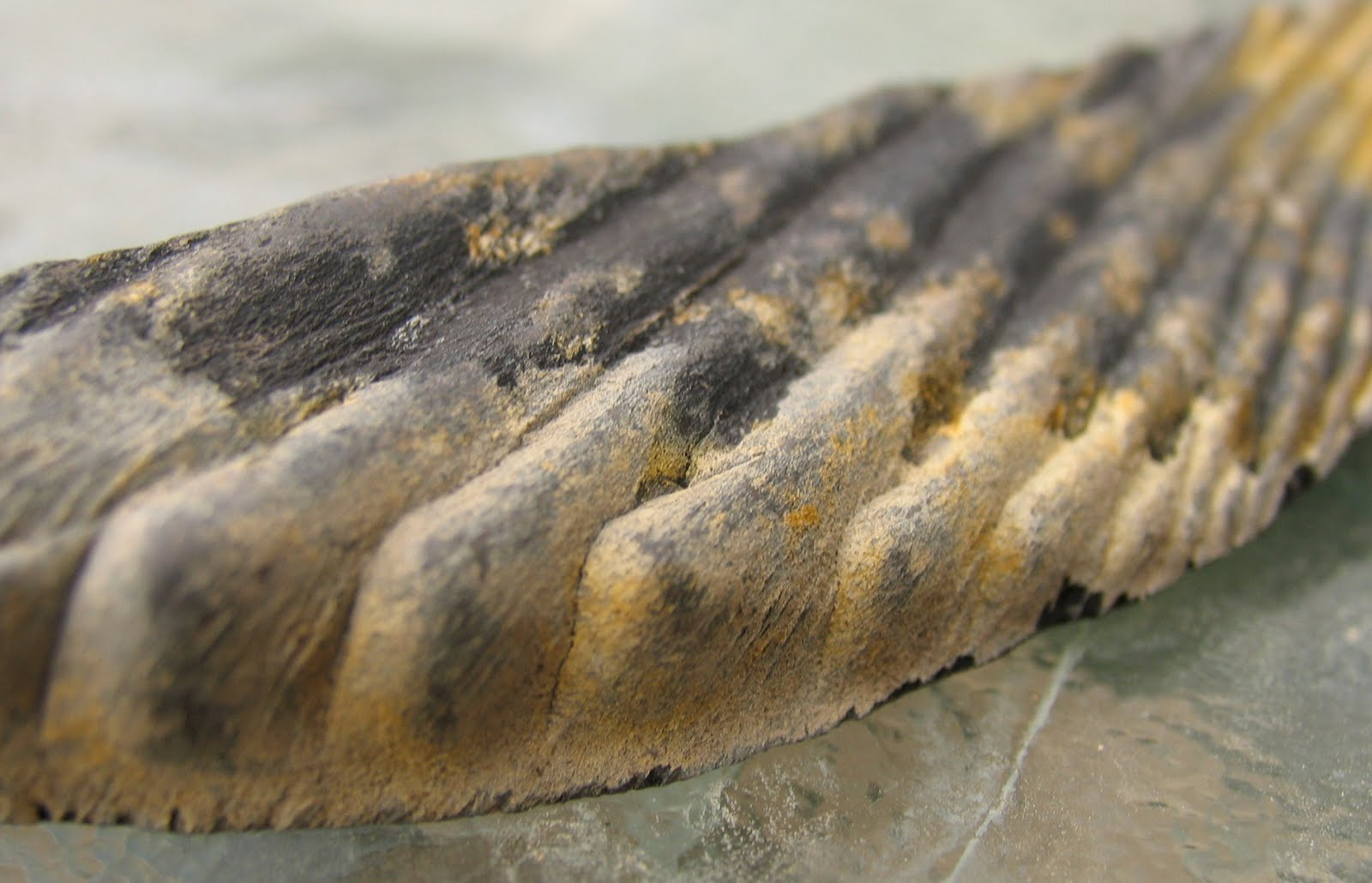 Louisville Fossils and Beyond: Cladoselache Shark Fossil