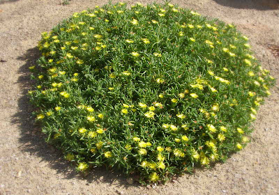 The Yellow Flowering Rocky Point Ice Plant Malephora Luteola And Pink Copper Crocea Can Be Magnificent Colorful Ground