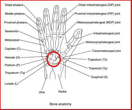 Carpal+bones+of+the+hand