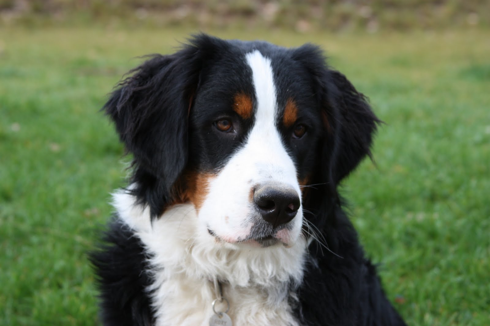 Bernese Mountain Dog B...