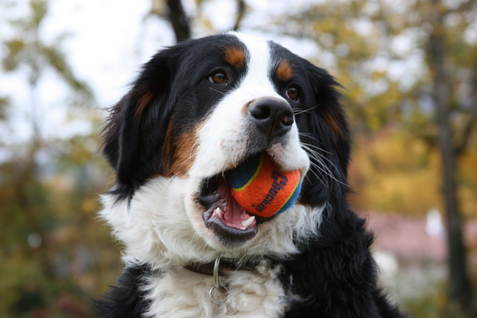 Bernese Mountain Dog Breed And Photos Dogs Feed News