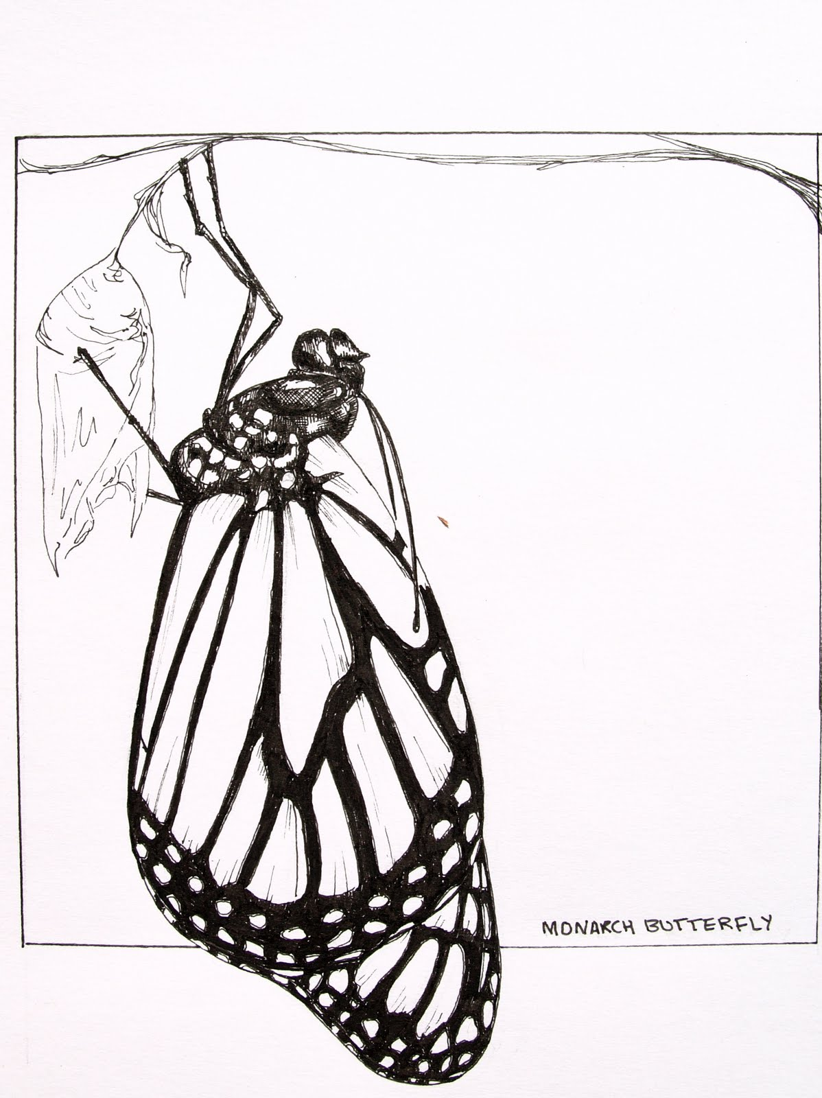 Butterfly Chrysalis Drawing